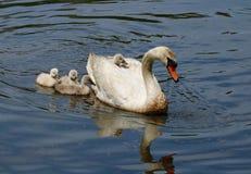 Mãe da cisne muda que leva um cisne novo cansado nela para trás foto de stock
