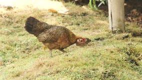 Mãe da galinha com o bebê que pasta na grama verde na fazenda de criação Mãe com o bebê da galinha que anda no prado em aves domé video estoque