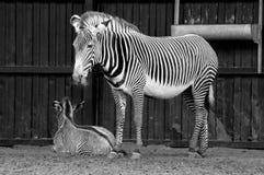 Mãe da zebra com pouco uma foto de stock