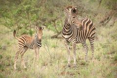Mãe da zebra e vitela africanas em um sul - reserva africana do jogo Fotos de Stock Royalty Free