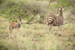Mãe da zebra e vitela africanas em um sul - reserva africana do jogo Imagem de Stock