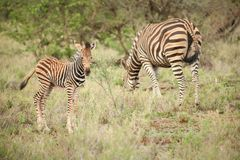 Mãe da zebra e vitela africanas em um sul - reserva africana do jogo Fotos de Stock