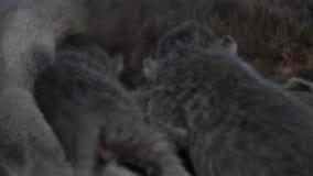 Mãe de Ingleses Shorthair que alimenta seus bebês video estoque