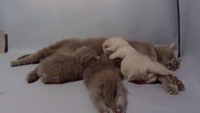 Mãe de Ingleses Shorthair que amamenta seus bebês vídeos de arquivo