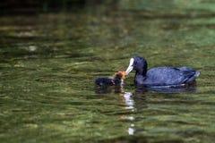 Mãe do atra do fulica do galeirão que alimenta seu jovem Imagem de Stock Royalty Free