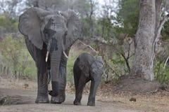 Mãe do elefante e vitela, África do Sul Imagens de Stock Royalty Free