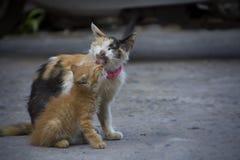 A mãe do gato com seu gatinho Fotos de Stock Royalty Free