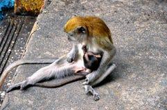 Mãe do macaco que amamenta seu bebê em Malásia imagem de stock royalty free
