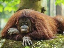 Mãe do orangotango Utan Foto de Stock