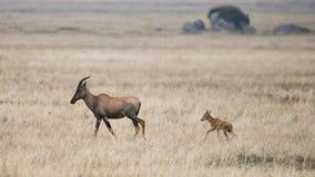 Mãe do Topi que anda na grama com a vitela atrás dela Imagem de Stock Royalty Free