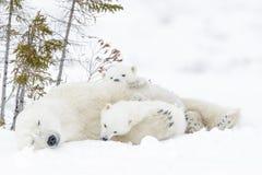 Mãe do urso polar com dois filhotes Imagem de Stock