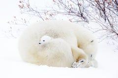 Mãe do urso polar com dois filhotes Foto de Stock Royalty Free