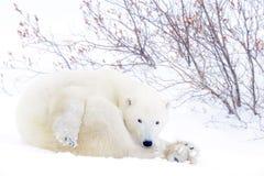 Mãe do urso polar com dois filhotes Fotografia de Stock