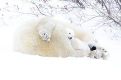Mãe do urso polar com dois filhotes Fotos de Stock