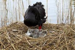 Mãe e bebê da cisne imagem de stock
