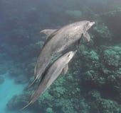 Mãe e bebê da família dos golfinhos de Bottlenose que nadam debaixo d'água Imagem de Stock Royalty Free