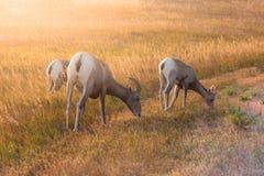 Mãe e bebês dos carneiros do Big Horn Imagem de Stock Royalty Free