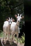 Mãe e criança da cabra Imagens de Stock