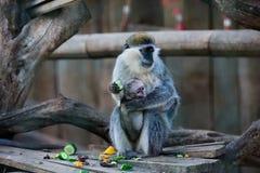 Mãe e criança do macaco da broca Fotografia de Stock Royalty Free