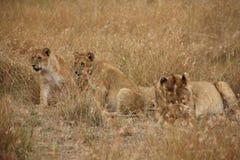 Mãe e filhotes no Masai Mara fotografia de stock