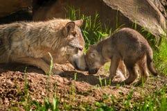 A mãe e o filhote de cachorro de Grey Wolf (lúpus de Canis) tocam no antro exterior Foto de Stock