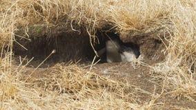 A mãe e o pinguim dos bebês que esconde em sua toca no Nobbies centram-se em Austrália filme