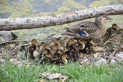 Mãe e patinhos do pato selvagem Imagem de Stock