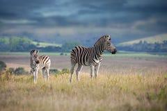 Mãe e vitela da zebra Foto de Stock Royalty Free