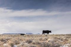 Mãe e vitela de Longhorn que cruzam a escala aberta em Colorado fotografia de stock royalty free