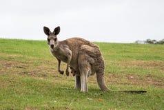Mãe nativa australiana do canguru com o joey do bebê no malote que está no campo Fotografia de Stock