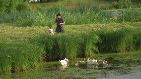Mãe nova com seus cisne de alimentação da filha do bebê e patinhos pequenos em uma lagoa verde do parque que veste o vestido pont video estoque