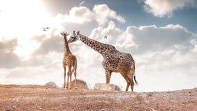 Mãe que mostra a afeição ao girafa do Masai do bebê imagem de stock