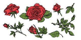 Mão altamente detalhada rosas tiradas ajustadas flor Fotografia de Stock Royalty Free