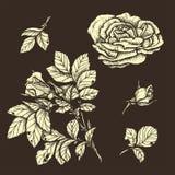 Mão altamente detalhada rosas tiradas ajustadas flor Fotos de Stock