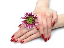 Mão bonita com manicure perfeito do vermelho do prego Foto de Stock
