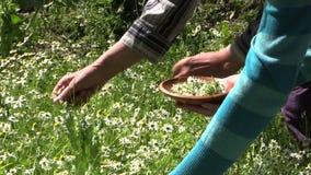 A mão colhe medicinal natural da camomila orgânica crescida no jardim Imagem de Stock