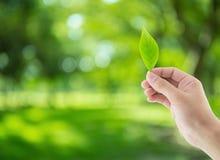 Mão com as folhas no fundo da natureza Imagem de Stock