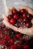 Mão com cerejas ácidas fotografia de stock royalty free