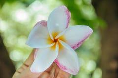 Mão com a flor do plumeria no jardim Fotos de Stock Royalty Free