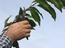 Mão com os secateurs que cortam a filial Imagem de Stock Royalty Free