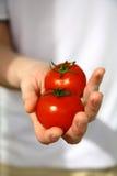 Mão com os tomates recentemente colhidos Fotografia de Stock Royalty Free