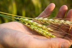 Mão com trigo Imagens de Stock
