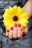 A mão com vermelho manicured os pregos que guardam a flor amarela do Gerbera Fotografia de Stock Royalty Free