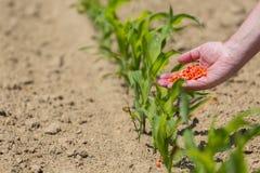 Mão completamente de sementes do milho Imagem de Stock