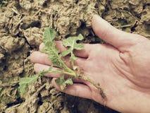 A mão cor-de-rosa da pele arranca uma planta pequena da violação de semente oleaginosa da argila molhada do húmus Qualidade da ve Imagens de Stock
