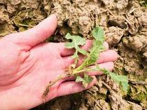 A mão cor-de-rosa da pele arranca uma planta pequena da violação de semente oleaginosa da argila molhada do húmus Qualidade da ve Foto de Stock