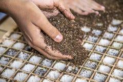 Mão cultive da semente da alface foto de stock