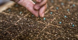 Mão cultive da semente da alface imagem de stock