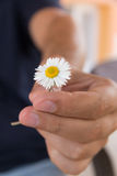 A mão dá uma flor pequena da camomila ou da margarida como um presente romântico Manhã do verão na vila do país Imagens de Stock