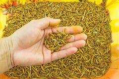 Mão da alimentação da larva de farinha da mostra do homem para animais na bandeja alaranjada no Imagens de Stock